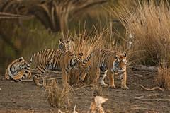Raw00118 (dickysingh) Tags: family wild cats india lake color nature animal forest streak many wildlife jungle tigers bigcats rajasthan ambush ranthambore ranthambhorenationalpark pantheratigristigris motherandcubs wwwranthambhorecom