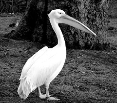 Royal Pelican (explored) (pjpink) Tags: park uk blackandwhite bw london spring pelican april stjamesspark royalpark 2013 pjpink