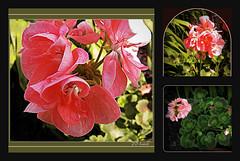 Pink Idols (MissyPenny) Tags: pink flowers summer garden blooms geraniums pelargonium bristolpennsylvania pdlaich