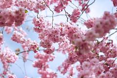 Sväva (EvasSvammel) Tags: cherryblossom volare kungsan sväva 365foton