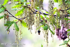 Catkins (rlt 2012) Tags: tree spring oak bee catkins