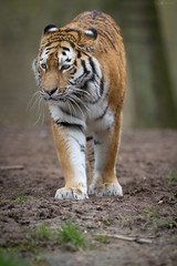 Nonishka (Cloudtail) Tags: animal cat mammal zoo tiger bigcat katze tigris tier panthera landau raubkatze sugetier ninoshka groskatze