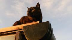 Jeeves at Sunset (Verna Jarrett) Tags: cats cat garden kat chat tortoiseshell gato katze tortie macska gatto kot kedi katt kissa jeeves pisica greenhouseroof xperiat