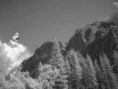 Parking Lot View from Yosemite Valley (sjrankin) Tags: trees clouds ir parkinglot edited yosemite infrared yosemitenationalpark crow grayscale glacierpoint 6june2013