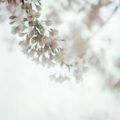 樱花 (richardhwc) Tags: flower 120 6x6 film rolleiflex mediumformat kodak sakura qingdao 35e planar carlzeiss portra400 75mmf35 rolleinar2 coatingdegraded