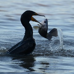 Cormorant and Fish [7802] (cl.lin) Tags: nature birds fishing nikon midwest wildlife birding sigma mississippiriver cormorant nikond600 lockanddam14 ld14