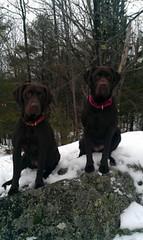 Mylea & Mayson - Chocolate Labrador Retrievers (By Murphy) Tags: chocolatelabrador labradorretrievers mayson mylea