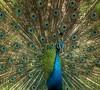 peacock (K C CHAN) Tags: blue green birds animals zoo wings eyes farm tail feather taiwan peacock 台灣 shinny 毛 孔雀 羽