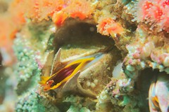 Barnacle among the Strawberry anemone (nereocystis) Tags: california monterey anemone barnacle balanus strawberryanemone corynactiscalifornica corynactis beachhopperii clubtippedanemone balanusnubilus giantacornbarnacle alacostadivers
