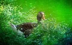 IMG_1601 chamomile goose (pinktigger) Tags: italy bird nature italia goose chamomile fagagna oasideiquadris feagne friuoli