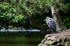 Heron (Stephen Whittaker) Tags: tree heron water birds nikon pov d5100 whitto27