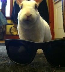 white rabbit bunny sunglasses soft millie rex houserabbit minirex car2go
