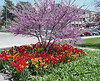 "Red Bud • <a style=""font-size:0.8em;"" href=""http://www.flickr.com/photos/101656099@N05/9733560821/"" target=""_blank"">View on Flickr</a>"