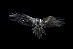 Wedge-tailed Eagle_DSC0806 (DansPhotoArt) Tags: portrait bird nature fauna eagle wildlife profile aves raptor strength passaros wbs wedgetailedeagle worldbirdsanctuary d7100