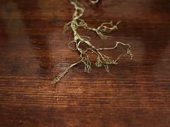 Lace (Fishnet) Lichen - tips close up (Bushman.K) Tags: oregon lichen taxonomy:binomial=ramalinamenziesii vision:text=051 vision:sunset=0599 vision:sky=0686