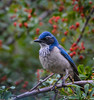 Western Scrub Jay In The Pyracantha (Bill Gracey) Tags: blue red color green bird nature birds colorful berries bokeh birding lakeside pyracantha westernscrubjay