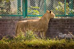 Lion Safari Lahore (UJPhotos.com) Tags: hope lion free cage anger safari wait cubs lahore