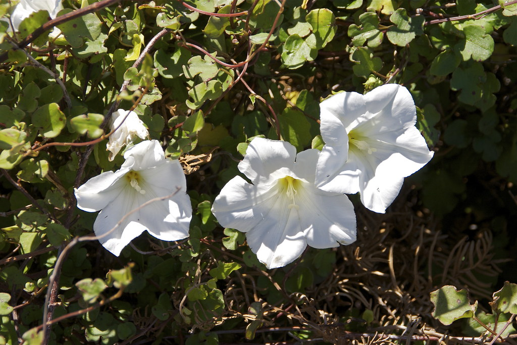 The worlds best photos of climber and weed flickr hive mind new zealand convolvulus calystegia tuguriorum steve attwood tags newzealand white plant flower mightylinksfo