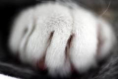 Ne pas s'approcher trop près ... Don't be too close ... (CGilles7) Tags: cat chat poil griffe ruby3 pitchou ruby10 gilles7