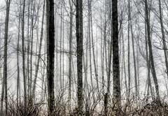 #Flickr12Days : Fog and Forest (Darrell Wyatt) Tags: light lines fog contrast forest washington darkness monocolor flickr12days