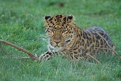 Amur Leopard (jackie#1981) Tags: uk animal leopard bigcat endangered amurleopard yorkshirewildlifepark jackie1981