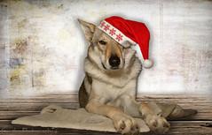 noel (cynbb) Tags: portrait dog chien animal nikon wolf noel loup cynthia d5200
