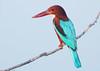 White throated Kingfisher (Halcyon smyrnensis) (Gurusan2010) Tags:
