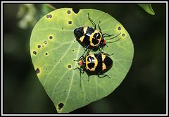 Janeiro - (492) (wolfwalz) Tags: hemiptera Taxonomy:Class=insecta Taxonomy:Order=hemiptera Taxonomy:Kindon=animália taxonomyphilumarthropoda