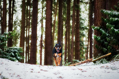 dog running among snow covered evergreens by Michael Matti (Michael Matti) Tags: trees winter dog snow dogs forest walking washington woods running run covered evergreens thor lynnwood