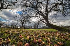 IMG_1103.jpg (Flotschie1976) Tags: trees apple nature clouds canon landscape sunrays bume gegenlicht 6d 2014 pfel 70200l sonnestrahlen friedberghessen ockstadt samyang14mm