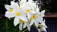 White Oleander (kuppakiran) Tags: oleander pondicherry beachroad flickrandroidapp:filter=none devaganneru