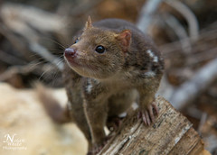 Spotted-tailed quoll (Nolan White) Tags: wildlife australia tasmania quoll tigerquoll spottedtailedquoll