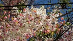 Koh Samui Pink Shower (soma-samui.com) Tags: travel flower thailand island asia resort samui  koh         pinkshower  tourguidesoma soma  somasamuicom