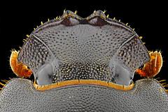 Rhinoceros Beetle (Donald Jusa) Tags: macro closeup indonesia nikon ngc arthropoda entomology macrophotography coleoptera insecta scarabaeidae hexapoda greatphotographers specanimal polyphaga scarabaeoidea dynastinae nikonflickraward