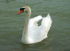 Swan (jeanette.horvath //Jeanne//) Tags: lake bird nature birds animal animals swan swans