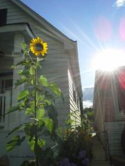 (ilovecoffeeyesido) Tags: sun sunshine cellphone sunflower mobilephone southside sunflare chicagoil samsunggalaxyvictory