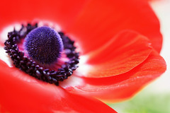Anemone (j man.) Tags: life lighting friends light red flower color macro art texture nature floral colors beautiful closeup composition lens photography petals cool focus flickr dof blossom pov background sony details favorites vivid clarity blurred 11 depthoffield pointofview anemone sp ii views di if f2 tamron comments ld slt jman macrophotography ruleofthirds af60mm mygearandme mygearandmepremium flickrbronzetrophygroup a65v