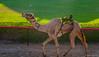 Deserts and Camels 131107 16_12_28 (Renzo Ottaviano) Tags: race al dubai desert united racing course emirates camel arab lorenzo races camels corrida emirate deserts uniti renzo unis arabi carrera corsa emirati unidos camellos chameaux árabes kamelrennen صحراء سباق arabes ottaviano camelos emiratos emirados vereinigte arabische cammelli emiratiarabiuniti émirats الهجن هجن سباقات المرموم marmoun