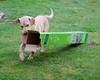 Sam has Fun!! (Günter Hentschel) Tags: dog d50 germany fun deutschland nikon lab europa action wiese nikond50 hund nrw grün karton yellowlabrador spas hentschel labradorlabby
