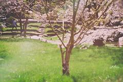 ~ trilogie de printemps ~ springtime trilogy ~ (Janey Kay) Tags: france primavera spring blossom printemps boulognebillancourt jardinsalbertkahn janeykay fujifilmxpro1 fujinon1855mm nikeffexanalogue