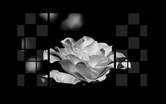 "White rose of the greenhouse (karakutaia) Tags: sun tree love nature japan paper temple tokyo heart afotando ""flickraward"" flickrglobal allbeautifulshotsandmanymoreilovenature flowerstampblackandwhite transeguzkilorestreetarturbanagreatshotthisisexcellentcontestmovementricohgxr""serendipitygroupbluenatureicapturecardjapanesepapercardflickraward5""j trasognoerealtabstractelementsorganizersimplysuperb"