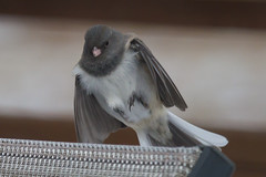 Female dark-eyed junco landing on a chair (Scott Alan McClurg) Tags: life winter wild snow cold bird nature fly flying song wildlife junco flight neighborhood landing deck sparrow land suburbs snowing gliding flapping flap songbird darkeyedjunco naturephotography glide darkeyed wildlifered