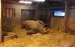 Newborn rhino calf (postmand_b) Tags: rhino calf rhinoceros kalv zoologiskhave nsehorn unge zoologiskhavekbenhavn