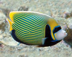 Pesce angelo imperatore (AcquarioVillage) Tags: travel sea nature aquarium mare famiglia weekend genoa genova leisure viaggi lovenature tempolibero acquariodigenova maritropicali acquariovillage