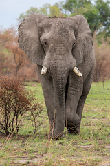 Big boy (Thomas Retterath) Tags: africa travel animals canon tiere wildlife urlaub ngc safari afrika botswana elefant mammals allrightsreserved africanelephant herbivore bigfive endangeredspecies 2014 loxodontaafricana sugetier elephantidae redlist pflanzenfresser kwando roteliste lebala thomasretterath canoneos5dmarkiii gefhrdetetierart canonef300lis28usm copyrightthomasretterath