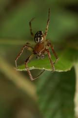 Larinioides cornutus (henk.wallays) Tags: macro nature closeup spider wildlife arachnid spin natuur 2006 date arthropoda aaaa araigne araneidae arachnidae 200609 larinioidescornutus rietkruisspin henkwallays