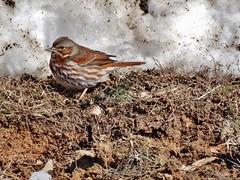 Fox Sparrow in the Mud (2.19.15) (e3spears) Tags: winter snow bird sparrow sandyriverreservoir
