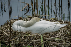 Nesting Mute Swan (A.Tongue Photography) Tags: bird water female swan nest leicestershire leicester waterbird reservoir waterfowl thornton nesting muteswan thorntonreservoir