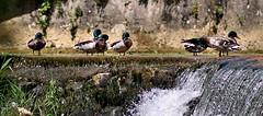 canards (sandrine_le_roux66) Tags: eau cascade barrage canard