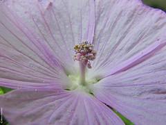 Floral Bouquet (Marco Ottaviani on/off [unavailable]) Tags: plants flower macro nature canon natura malvaceae piante malva malvamoschata marcoottaviani